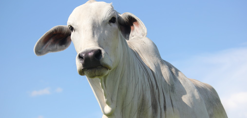 Brahman Certified Cattle