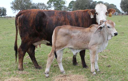 Brahman Purebred Cattle for F1 Hybrid Production