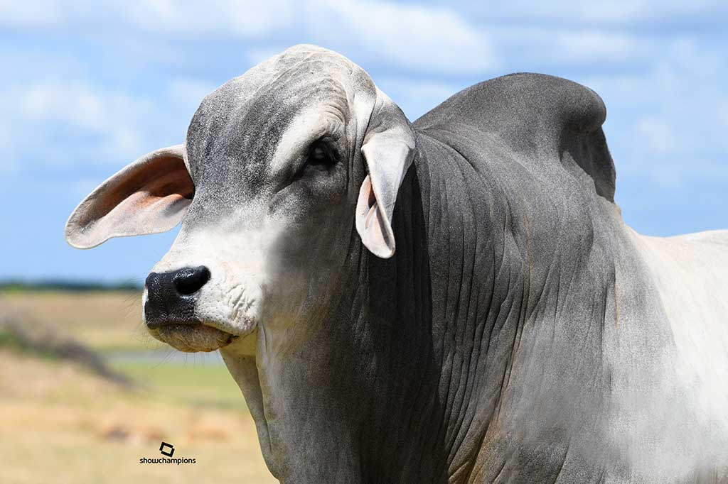 Brahman Cattle for Challenging Climates