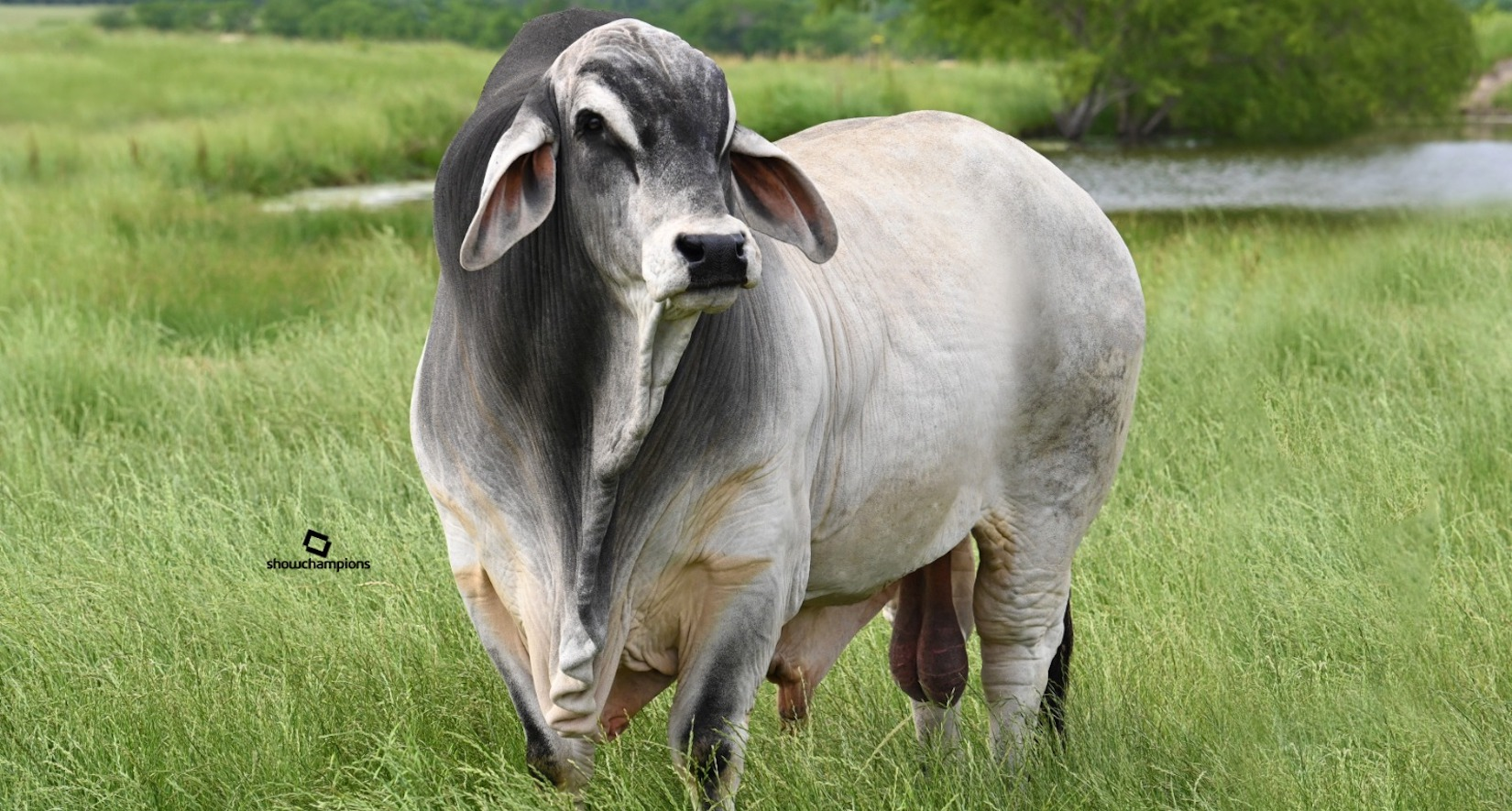 The Impact of American Polled Brahman Cattle in Texas