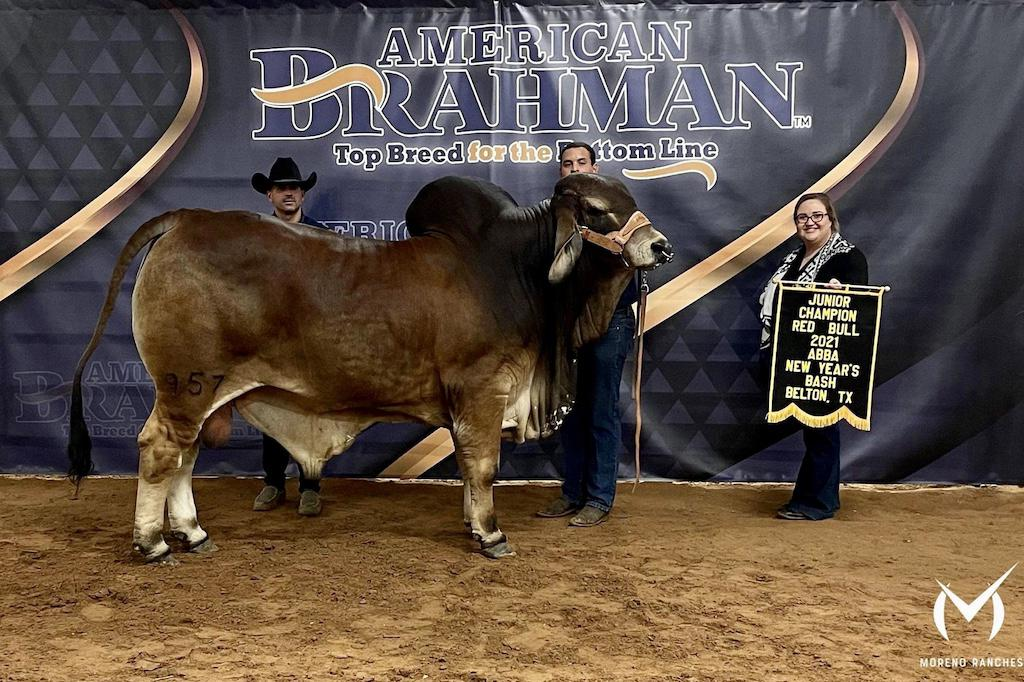 red brahman cattle for sale in texas